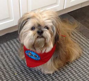 Bamse gets a job — as a Therapy Dog!